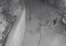 El video muestra al valiente gato defenderse de 3 coyotes detrás de la casa de California