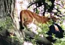 Niño de 3 años atacado por un león de montaña en el sur de California