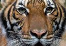 Cuatro tigres y tres leones dan positivo para covid-19 en el zoo
