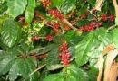 Subida de los precios del café beneficiaría a los productores locales